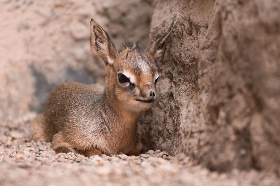 """Na świat przyszedł jedenasty """"afrykański Bambi"""""""